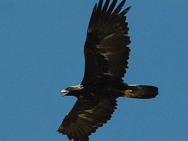 File photo of a Golden Eagle in flight from Wikimedia Commons.