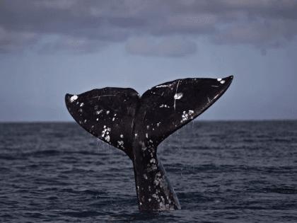 Gray Whale (AP / Max Miller)