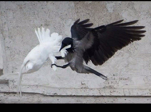 papal dove attack