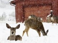 Mule deer are seen in snow during a late spring snow storm in Golden