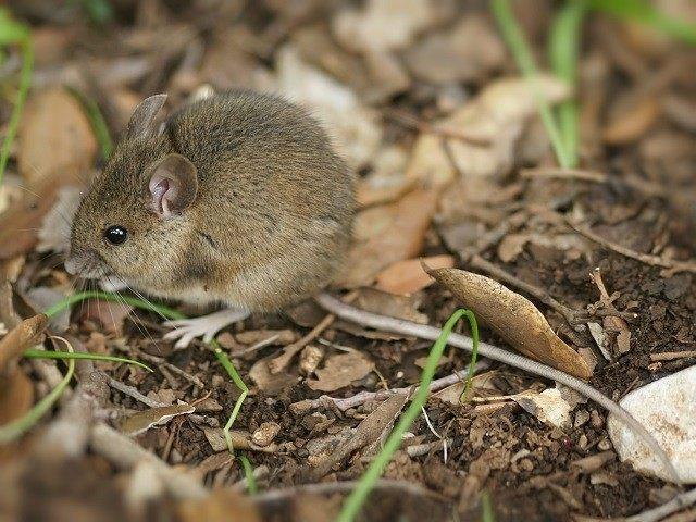 British Wood Mouse