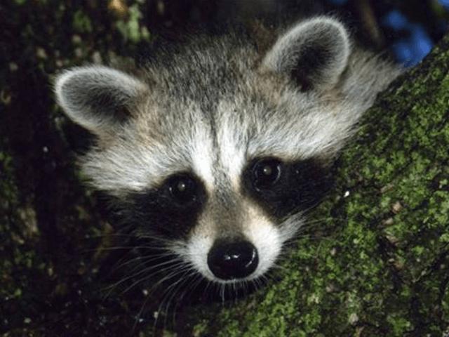 Raccoon (Associated Press)