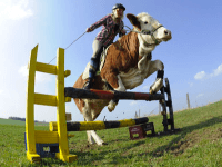 Cow Jump (Associated Press)