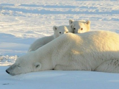 A World Wildlife Fund photograph taken along the western shore of Hudson Bay in November 2010 shows a female polar bear with two cubs near Churchill, Canada, in this file image released to Reuters on February 9, 2011.