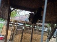 Rooster waiting for his turn to fight. Photo: Hidalgo County Sheriff's Office