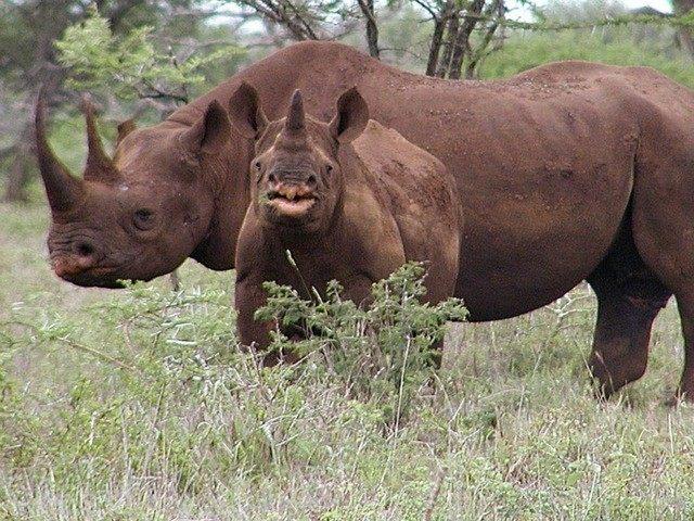 black-rhinos-AP