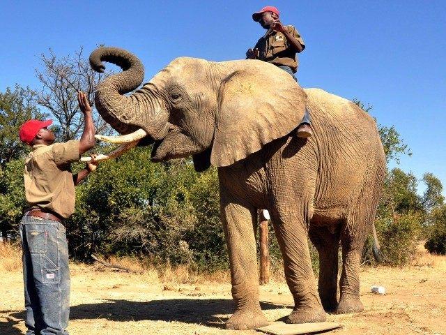 bomb-sniffing-elephant-AP