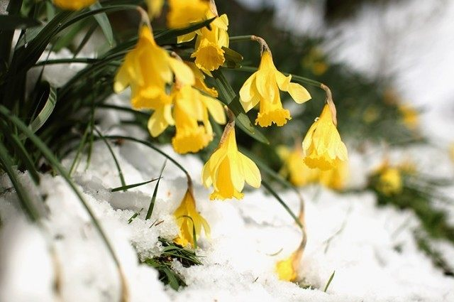 Daffodil winter snow