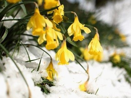 Daffodil winter snow