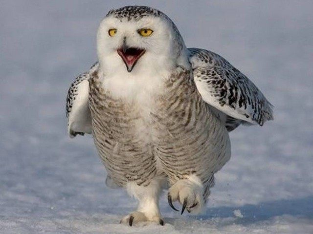 snowy-owls-reuters