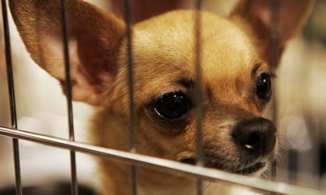 Chihuahua-Alexander-Natruskin-Reuters