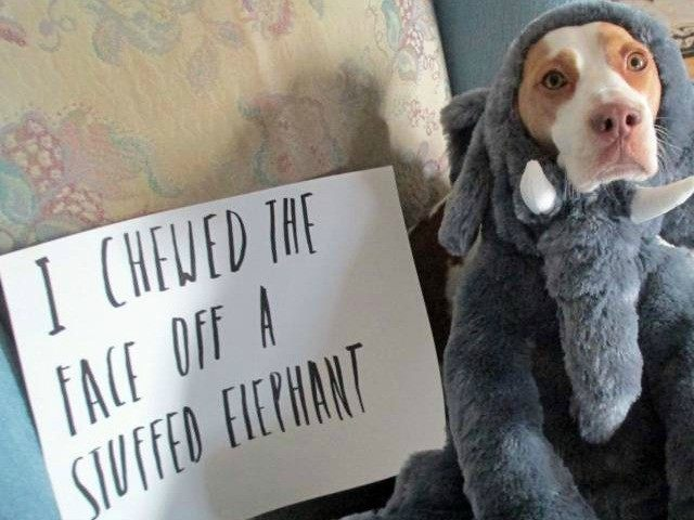 Maymo, a lemon beagle, poses for a shame illustration in Merrimack Valley, Massachusetts, in this photo provided by Jeremy Lakaszcyck of Boston. He has been putting shaming videos of Maymo on YouTube since late 2011
