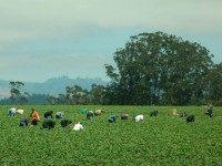 California fruit farm workers (Donna Sutton / Flickr / CC / Cropped)