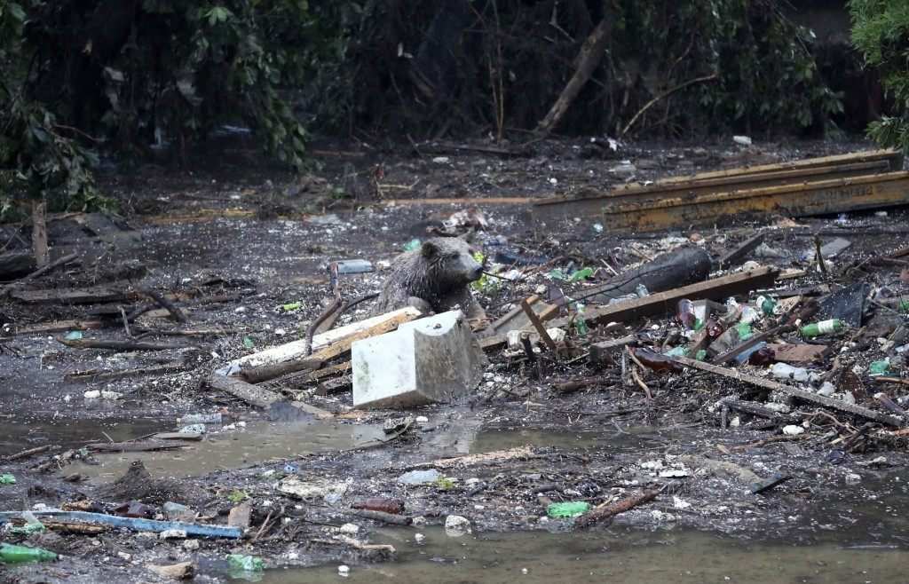 A bear tries to save itself from a flooded zoo area in Tbilisi, Georgia, Sunday, June 14, 2015. Tigers, lions, a hippopotamus and other animals have escaped from the zoo in Georgia's capital after heavy flooding destroyed their enclosures, prompting authorities to warn residents in Tbilisi to say inside Sunday. At least eight people have been killed in the disaster, including three zoo workers, and 10 are missing. (AP Photo/Beso Gulashvili)