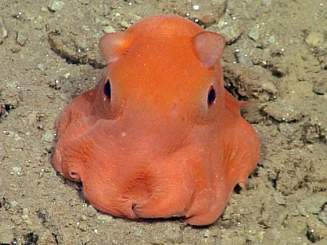 Adorabilis Octopus (AFP / Monterrey Bay Aquarium)
