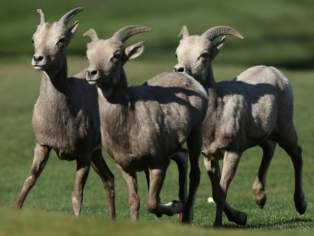 Bighorn sheep (Jeff Gross / Getty)