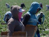 Farm workers (Joe Klamar / AFP / Getty)