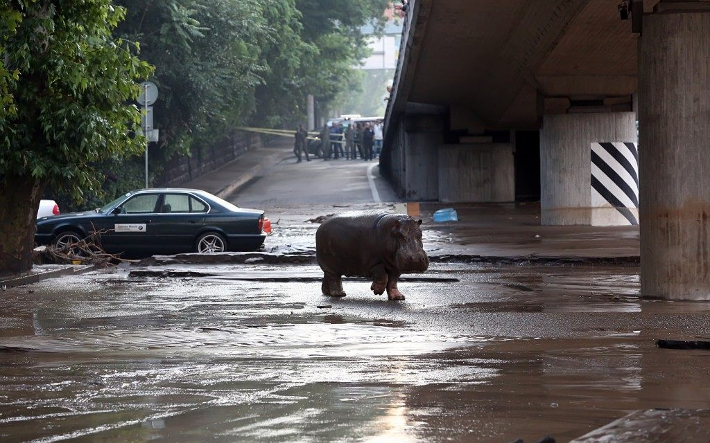 A hippopotamus walks across a flooded street in Tbilisi on June 14, 2015. Tigers, lions, jaguars, bears and wolves escaped on June 14 from flooded zoo enclosures in the Georgian capital Tbilisi, the mayor's office said. Some of the animals were captured by police while others were shot dead, the mayor's office told local Rustavi 2 television. At least eight people have drowned and several others are missing in the Georgian capital Tbilisi in serious flooding. BESO GULASHVILI / AFP / Getty Images