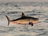Great White Shark (Carl de Souza / AFP / Getty)