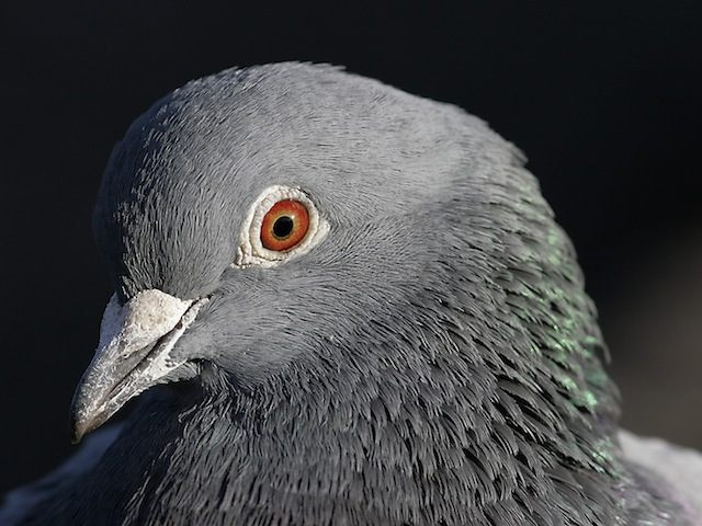 Pigeon-close-up-on-head