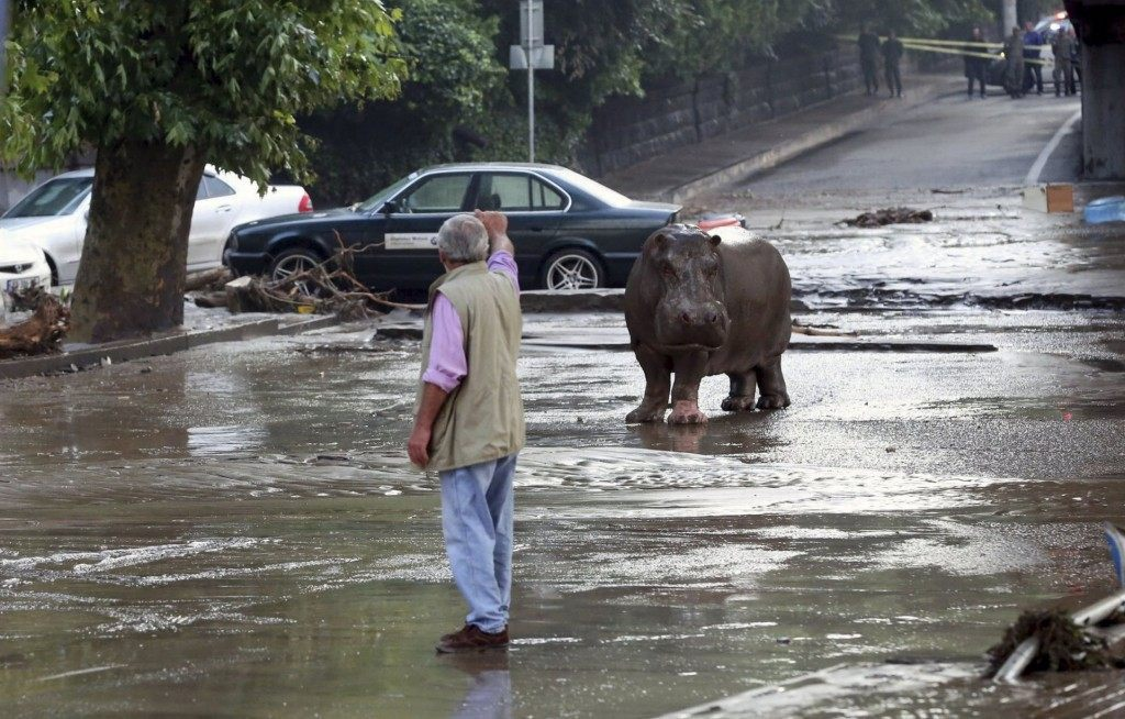 A man gestures to a hippopotamus at a flooded street in Tbilisi, Georgia, June 14, 2015. At least five people died and several are missing as a result of heavy rainfall and floods overnight in the Georgian capital Tbilisi, Georgian news agencies reported on Sunday. Animals from the city's zoo including tigers, lions, bears and wolves escaped from cages damaged by the rainfall. Some were captured or killed while the search for others goes on. REUTERS/Beso Gulashvili