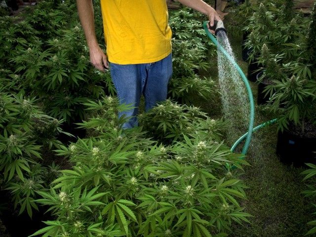 Watering Marijuana (Pete Starman / Getty)