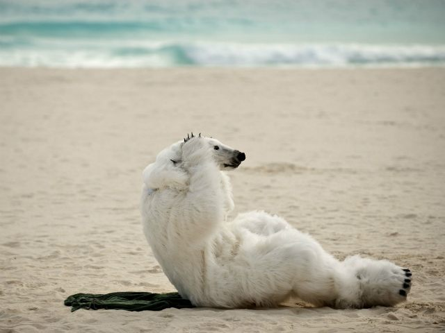 A member of the ONG Sierra Club wearing a polar bear costume demonstrates against the countries who according to them are avoiding the climate change issue, in a beach in Cancun on December 3, 2010, in the framework of the United Nations Framework Convention on Climate Change (COP-16). The November …