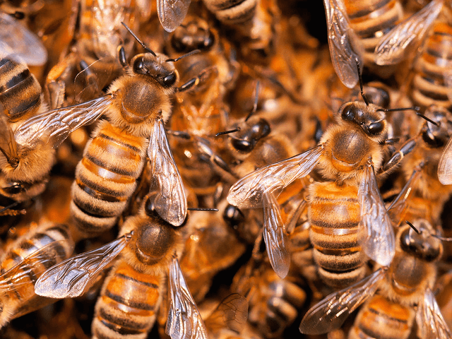Bees (Umberto Salvagnin / Flickr / CC / Cropped)
