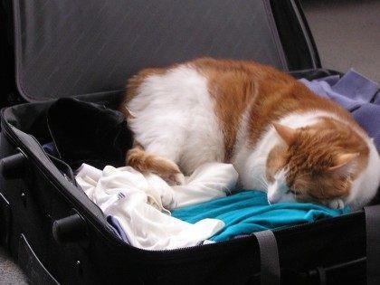 Cat Suitcase (liz west / Flickr / CC / Cropped)