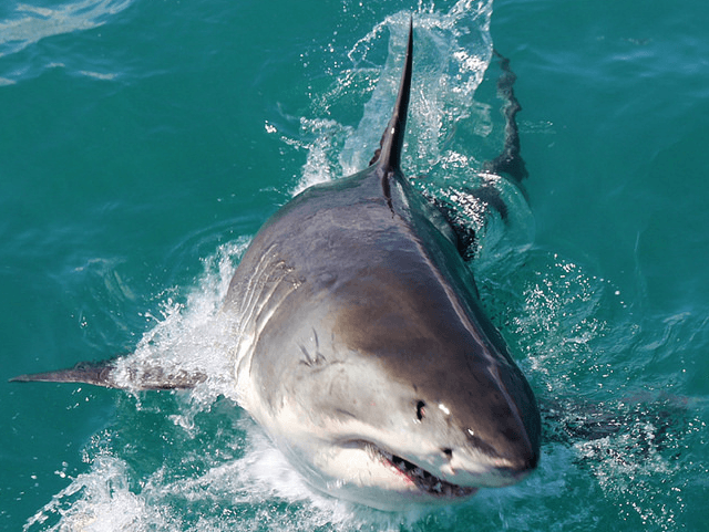 Great White Shark (African Budget Safaris / Flickr / CC / Cropped)