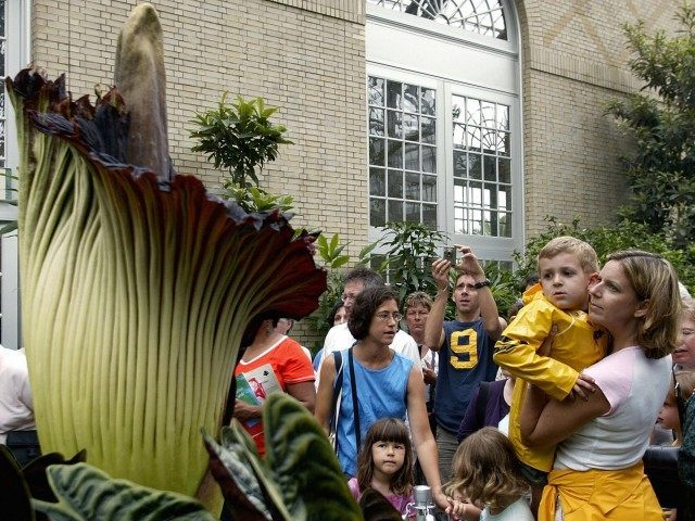 Titan Arum (Stephen Jaffe / AFP / Getty)