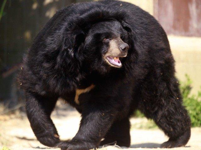 Black Bear (Raymond Roig / AFP / Getty)