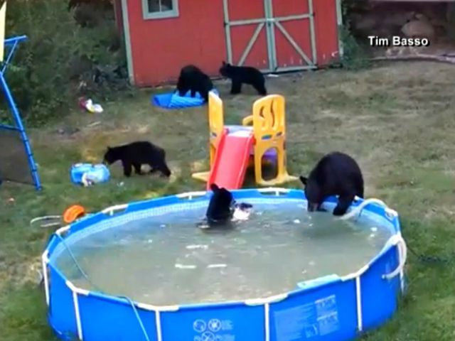 Black Bears Climb In Family 39 S Backyard Pool Breitbart
