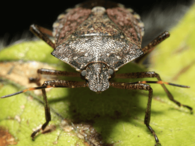 Brown Stinkbug (Matt Rourke / Associated Press)