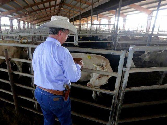 Cattle Rustling