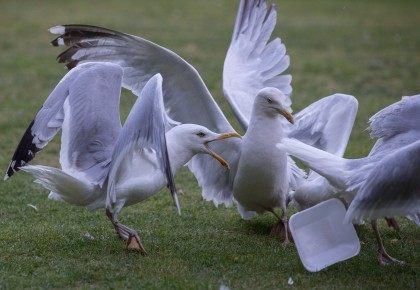 Seagull Attacks Being Reported From Coastal Towns This Summer