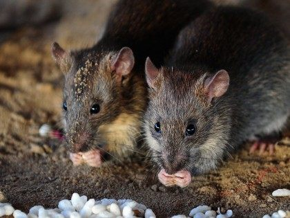 Rats (Sanjay Kanojia / AFP / Getty)