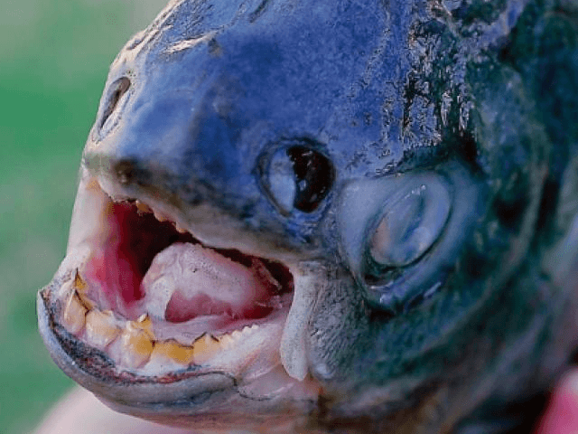 Pacu fish (Jacob Lopez / Yuma Sun / Associated Press)