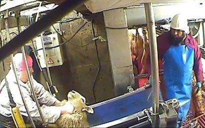 Sheep mistreatment