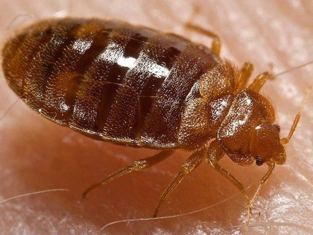 Bed Bug (Wikimedia Commons)