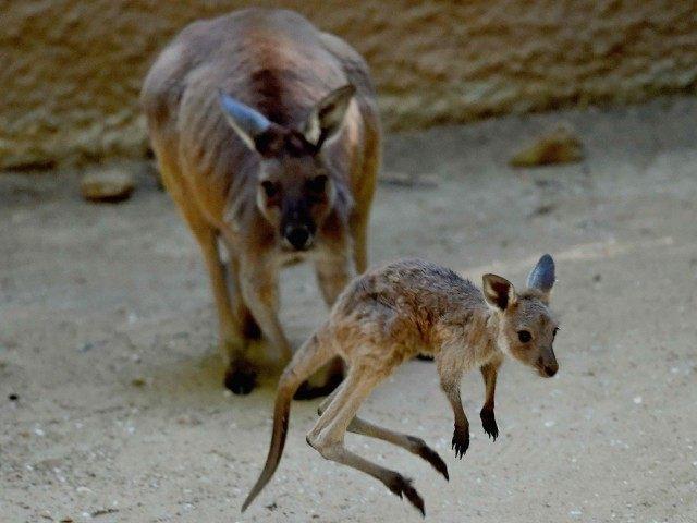 Kangaroos (Mark Ralston / AFP / Getty)