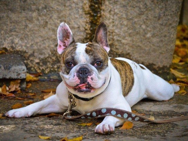 French Bulldog (David Offf / Flickr / CC / Cropped)