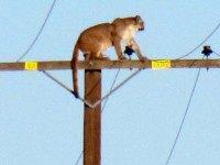 Mountain Lion Pole (Associated Press)