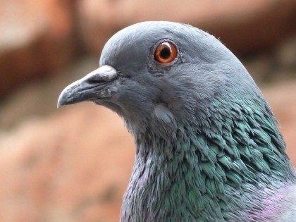 Pigeon (Amit Gaur / Flickr / CC)