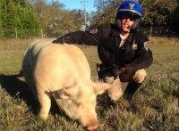 CHP Rescues Giant Sleeping Pig Using Social Media