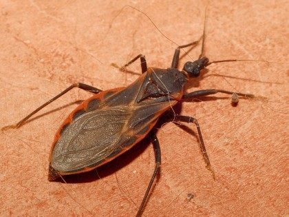 'Kissing Bugs' Invade California, U.S.