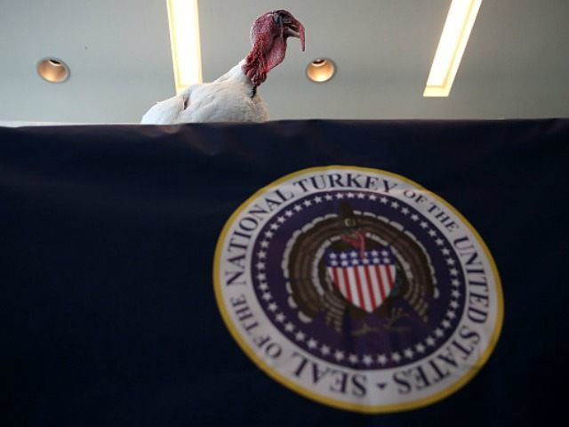 A Nicholas White turkey, one of two presidential turkey candidates, attends a press conference at the InterContinental Hotel on November 6, 2015 in San Francisco, California. Two presidential turkey candidates, known as Tom 1 and Tom 2, are contending for the honor of being named the 2015 National Thanksgiving turkey …