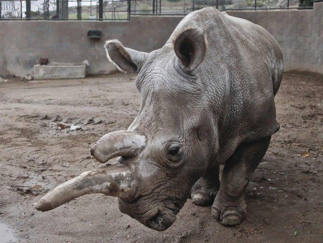 Northern white rhino (AP Photo / Lenny Ignelzi)