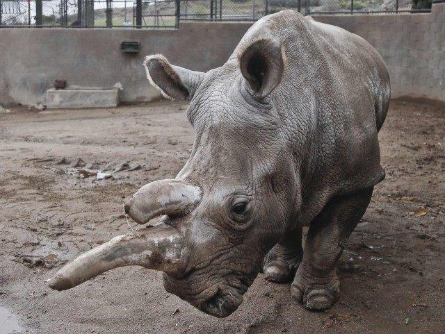 Northern white rhino (AP Photo / Lenny Ignelzi)