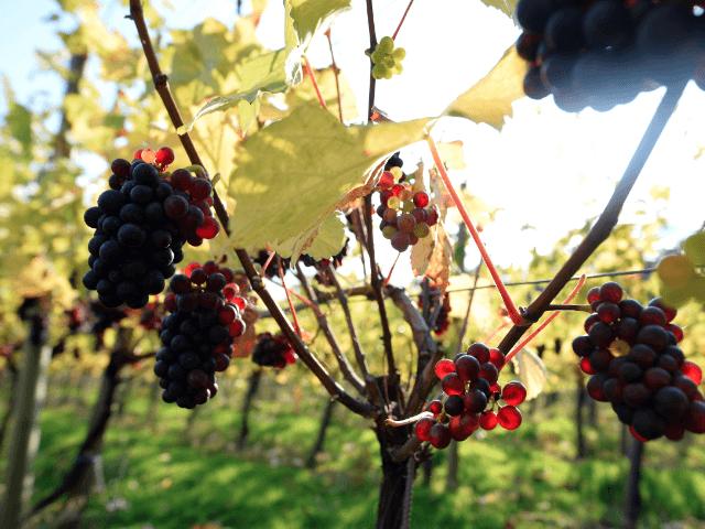 English wine vineyard